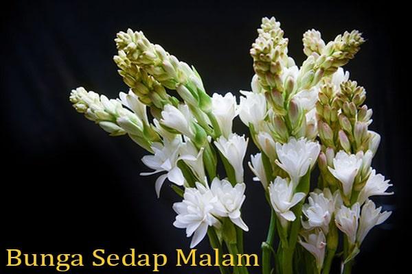 Manfaat Bunga Sedap Malam untuk Kesehatan