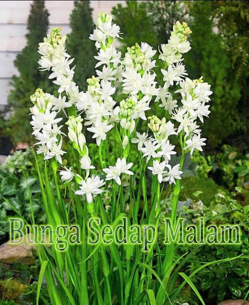 Manfaat Kesehatan Bunga Sedap Malam